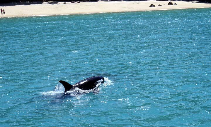 Orca.Whale